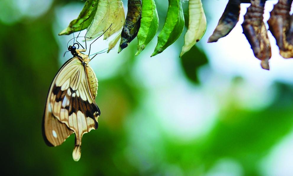 La crisalide e la farfalla